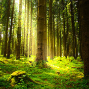 Beautiful nature at morning in the misty summer  forest with sun rays.